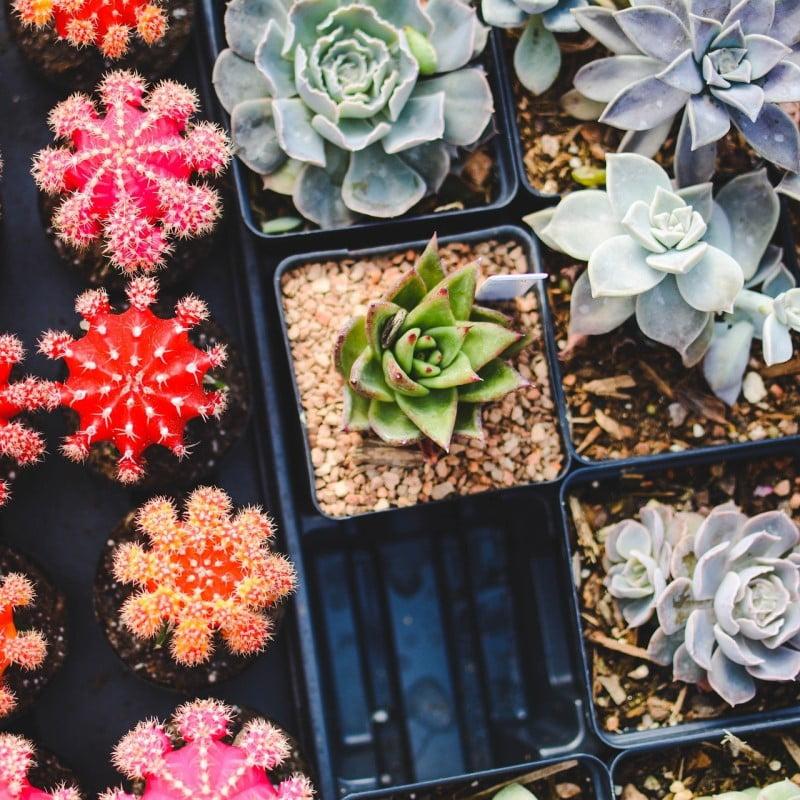Cactus Simple