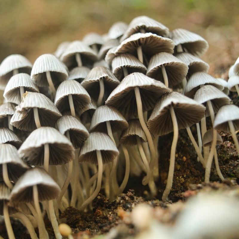 Mushroom Simple